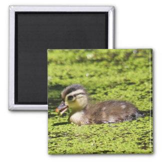 Baby Wood Duck Magnet