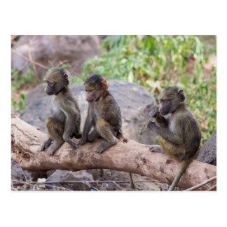 Baby Yellow Baboons Postcard
