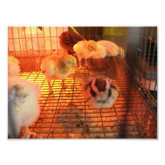Baby Yellow Chicks in Incubator Photo Print