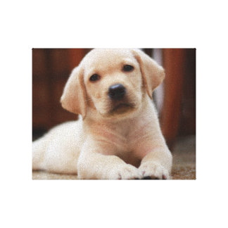 Baby Yellow Labrador Puppy Dog laying on Belly Canvas Print