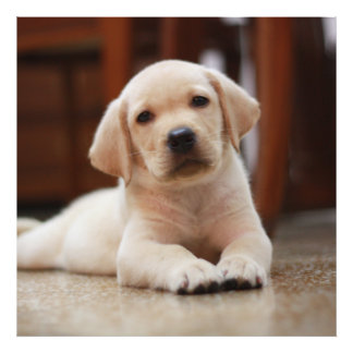 Baby Yellow Labrador Puppy Dog laying on Belly Photo Print