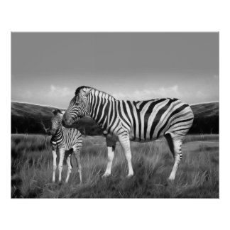 Baby Zebra and mom Poster