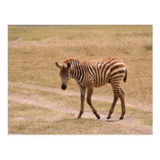Baby Zebra Crossing Postcard