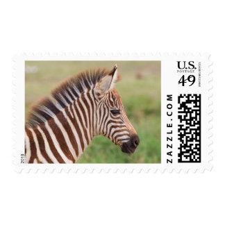 Baby zebra head, Tanzania Postage