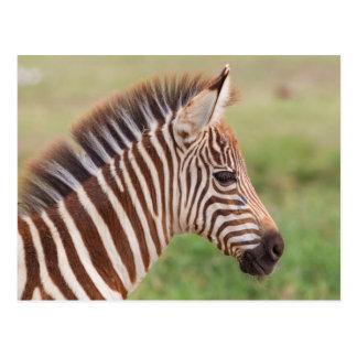 Baby zebra head, Tanzania Postcard