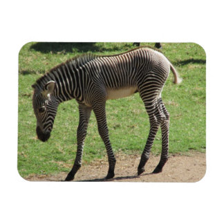 Baby Zebra Magnet