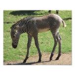 Baby Zebra Photograph