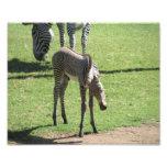 Baby Zebra Photographic Print