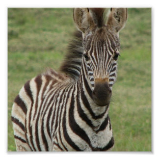 Baby Zebra Poster Print