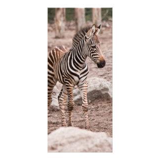 Baby zebra full color rack card