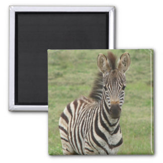 Baby Zebra Square Magnet