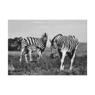 Baby zebra suckling canvas print