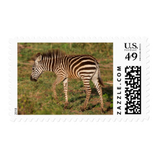 Baby Zebra walking, South Africa Postage