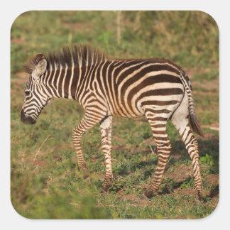 Baby Zebra walking, South Africa Square Sticker