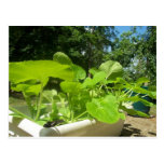 Baby zucchini plants in the front porch garden postcards
