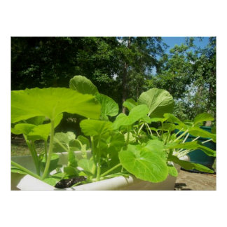 Baby zucchini plants in the front porch garden poster