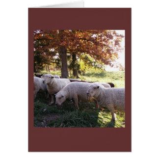Babydoll Southdown Ewes Card