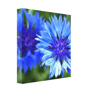 Bachelor Buttons Canvas Print