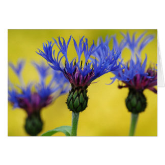 Bachelor's Buttons, Cornflower Card