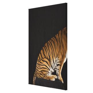 Back end of tiger sitting on platform canvas print