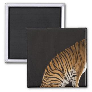 Back end of tiger sitting on platform magnet