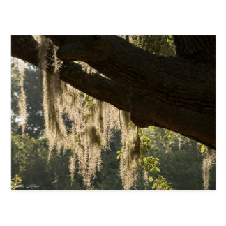 Back Lit Mossy Tree Postcard