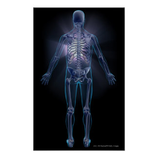 Back view of a human skeleton poster