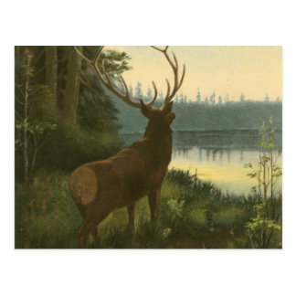 Back view of Elk Looking over a Lake Postcards