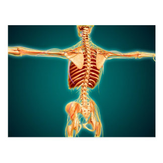 Back View Of Human Skeleton With Nervous System Postcard