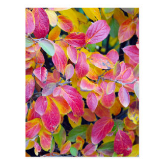 Background of vivid red leaves of autumn bush clos postcard