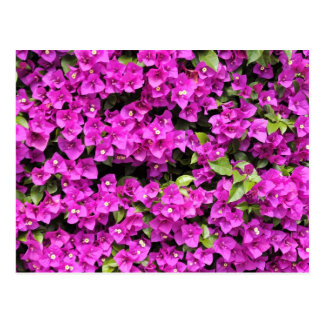 Background red bougainvillea postcard