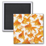 Background Showing a Large Group of Goldfish 2 Inch Square Magnet