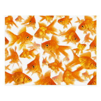 Background Showing a Large Group of Goldfish Postcard