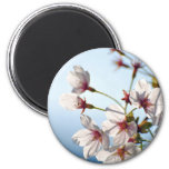 Backlit Cherry Blossoms Magnets