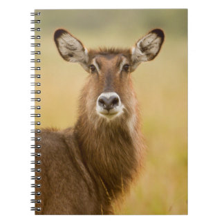 Backlit Portrait Of Female Defassas Waterbuck Notebook