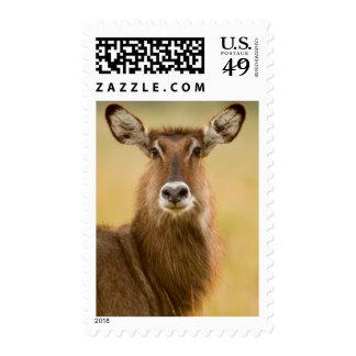 Backlit Portrait Of Female Defassas Waterbuck Postage