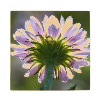 Backlit Purple Wildflower With Dewdrops Wood Coaster