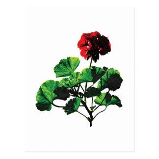 Backlit Red Geranium Postcard