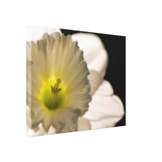 Backlit White Daffodil Wrapped Canvas Print