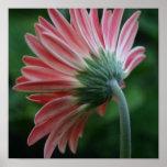 Backside of pink gerber daisy poster