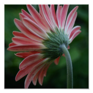 Backside of pink gerber daisy poster