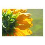 Backside of Sunflower Photo Print