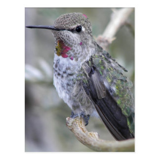 Backyard Hummingbird Postcard