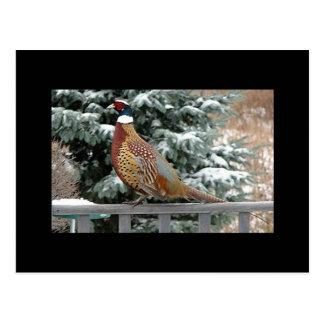 Backyard Pheasant Postcard