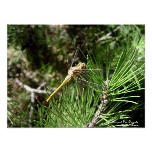 Backyard Pics (Dragonfly ) Marshall Lazaneo Poster