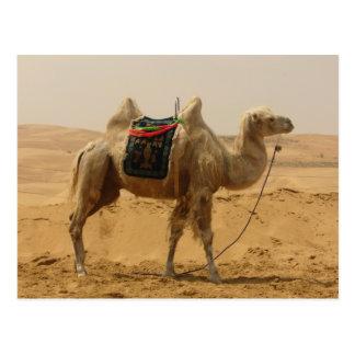 Bactrian Camel Mongolia Postcard Postcards