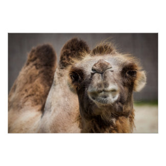 Bactrian camel poster