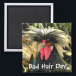 """Bad Hair Day Chicken Photo Magnet<br><div class=""""desc"""">Funny,  decorative magnet for home or office featuring the photo image of a funny looking rooster chicken having a bad hair day. Available as square style only. To see other products offered in the store,  click on the Northwestphotos store link.</div>"""