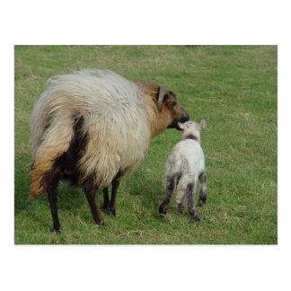 Badgerface Ewe with lamb Postcard