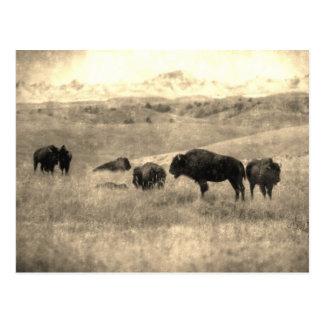 Badlands Bison Postcard